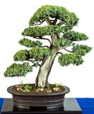 Common juniper as bonsai tree Stock Photos