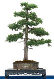 Common juniper (Juniperus communis) as bonsai tree Stock Photo