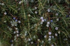Common juniper Stock Images