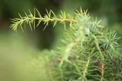 Common juniper (Juniperus communis) Stock Photo