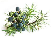 Common Juniper (Juniperus communis) Stock Photography