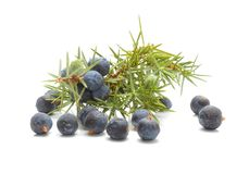 Common Juniper (Juniperus communis) fruits Royalty Free Stock Image