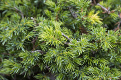 Common Juniper, Juniperus communis subsp. alpina Stock Images