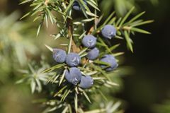 Common juniper (Juniperus communist) Stock Images