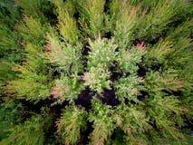 Common Juniper Pines Growing stock photo