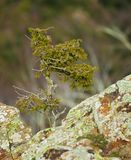 Common Juniper tree growing on highland rocks. The highlands of the Pla de la Calma in northeastern Catalonia have a harsh climate and poor soils, the Common stock photography