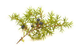 common juniper twig with ripe and unripe berries Royalty Free Stock Photos
