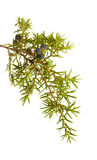 common juniper twig with ripe and unripe berries Royalty Free Stock Images