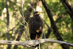 Common juvenile black hawk sitting on a tree branch in the forest, Cuba. One leg raised royalty free stock photography