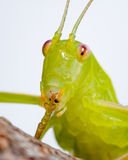 Common katydid Royalty Free Stock Image