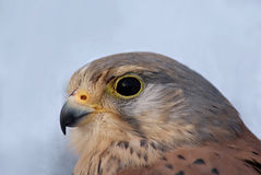 Common Kestrel. Portrait of a Common Kestrel (Falco tinnunculus Royalty Free Stock Photo