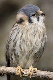 Common Kestrel Stock Photos