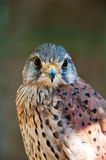 Common Kestrel. Or Falco Tinnunculus portrait looking directly at you Royalty Free Stock Images
