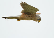 Common Kestrel. Fyling in the sky Royalty Free Stock Photo