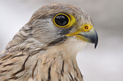 Common Kestrel. Closeup detail portrait royalty free stock photography