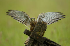 Common Kestrel Royalty Free Stock Images
