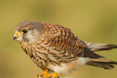 Common kestrel. Close-up netherlands Royalty Free Stock Image