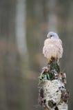 Common kestrel on birch Royalty Free Stock Photos