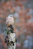 Common kestrel on birch Royalty Free Stock Image