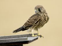 Common kestrel bird Royalty Free Stock Photography