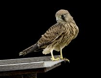 Common kestrel bird Royalty Free Stock Images