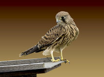 Common kestrel bird. Beautiful, young common kestrel bird Stock Image