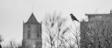 Common kestrel with a church. A common kestrel with a church in the background. wide screen Stock Photos