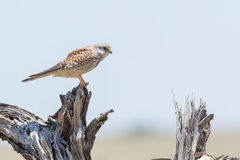 Common Kestrel On Dead Stump. The Common Kestrel eats mainly mice (voles & shrews, too), small birds, lizards and smaller invertebrates - flying termites are a Royalty Free Stock Photography
