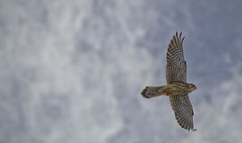 Common Kestrel, European Kestrel Royalty Free Stock Photos