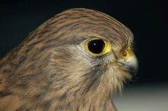 Common Kestrel - Falco tinnunculus Stock Image