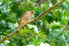 Common Kestrel Falco tinnunculus searching for prey. Taken in Richmond, England stock photography