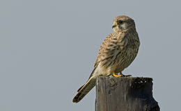 Common Kestrel (Falco tinnunculus) Stock Photography