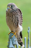 Common Kestrel (Falco tinnunculus) Royalty Free Stock Photography