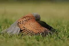 Common Kestrel (Falco Tinnunculus) Stock Image