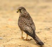 Common Kestrel Falco tinnunculus Stock Photo
