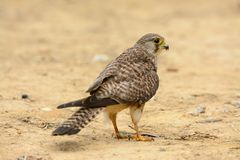 Common Kestrel (Falco tinnunculus) Stock Images