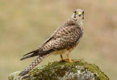 Common Kestrel (Falco tinnunculus) Royalty Free Stock Image