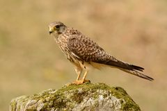 Common Kestrel (Falco tinnunculus) Stock Photography