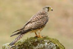 Common Kestrel (Falco tinnunculus). Beautiful female Common Kestrel (Falco tinnunculus) standing on ground stock photography