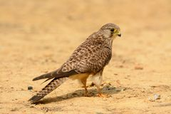 Common Kestrel (Falco tinnunculus) Royalty Free Stock Photography