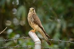 Common Kestrel (Falco tinnunculus) Stock Image