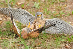 Common Kestrel (Falco tinnunculus) Stock Photos