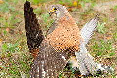 Common Kestrel (Falco tinnunculus). The Common Kestrel (Falco tinnunculus) is a bird of prey belonging to the kestrel group of the falcons. It is also known as Stock Photography