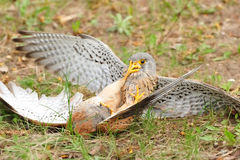 Common Kestrel (Falco tinnunculus). The Common Kestrel (Falco tinnunculus) is a bird of prey belonging to the kestrel group of the falcons. It is also known as Stock Photos
