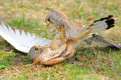 Common Kestrel (Falco tinnunculus). The Common Kestrel (Falco tinnunculus) is a bird of prey belonging to the kestrel group of the falcons. It is also known as Royalty Free Stock Photos