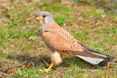 Common Kestrel (Falco tinnunculus). The Common Kestrel (Falco tinnunculus) is a bird of prey belonging to the kestrel group of the falcons. It is also known as Stock Photo