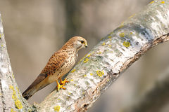 Common Kestrel (Falco tinnunculus). The Common Kestrel (Falco tinnunculus) is a bird of prey belonging to the kestrel group of the falcons. It is also known as Stock Images