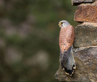Common Kestrel, Falco tinnunculus, close-up. Stock Photography