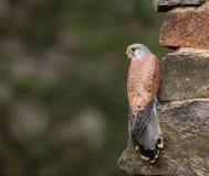Common Kestrel, Falco tinnunculus, close-up. Stock Photography