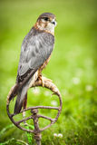 Common Kestrel - Falco tinnunculus Stock Photo
